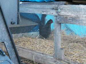Annoyed chicken